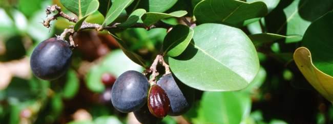 los icacos, fruta de el salvador
