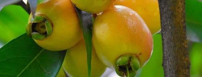 la manzana rosa o manzana pedorra, fruta de el salvador